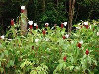 Blumen in Guadeloupe