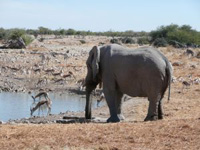 Elefant in Namibia