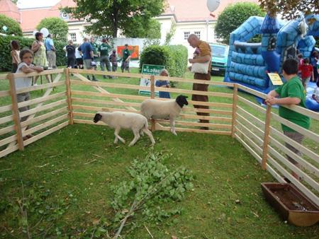 Typische Rhönschafe am Schloß Gersfeld