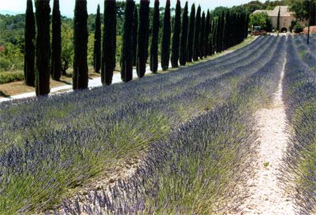 Südfrankreich Reisen Lavendelfeld