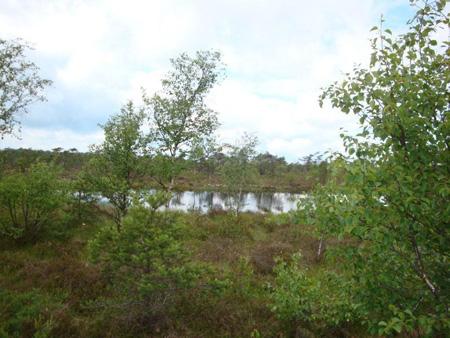 Moorsee mit Birken
