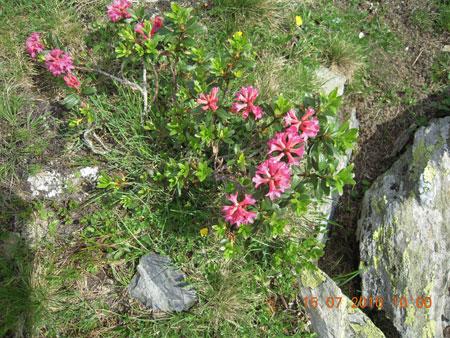 Alpenrose am Glungetzer