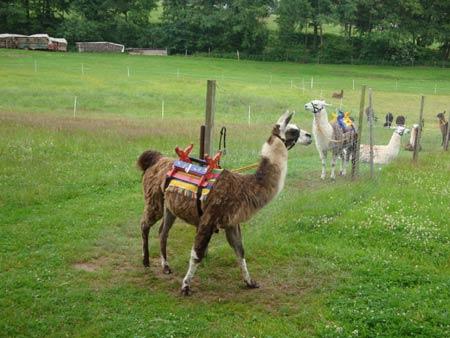 Lamas in Poppenhausen