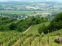 Weinfeld in Luxemburg