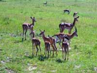 Kenia Gazellen