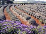 Lavendelfeld Südfrankreich