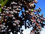 Weintraube Umbrien