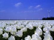 Tulpenfelder, Flevoland