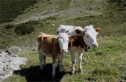 Kühe auf dem Bauernhof in Österreich
