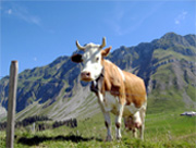 Kuh vor den Alpen, Bauernhof Österreich