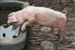 Schwein auf dem Bauernhof in Österreich