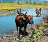 Alaska Elch