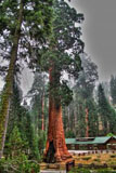 Mammut-Baum