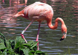 Flamingo, Klein Antillen