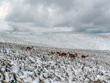 Alpacas im Schnee