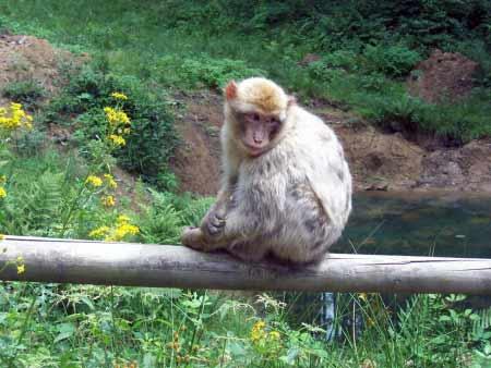Affe auf Geländer