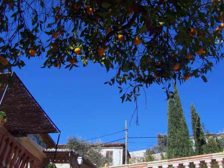Apfelsinenbaum Mallorca