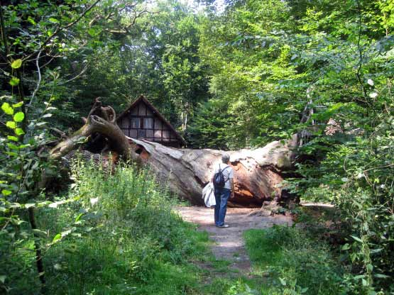 850-jährige Eiche vor der Jagdhütte.