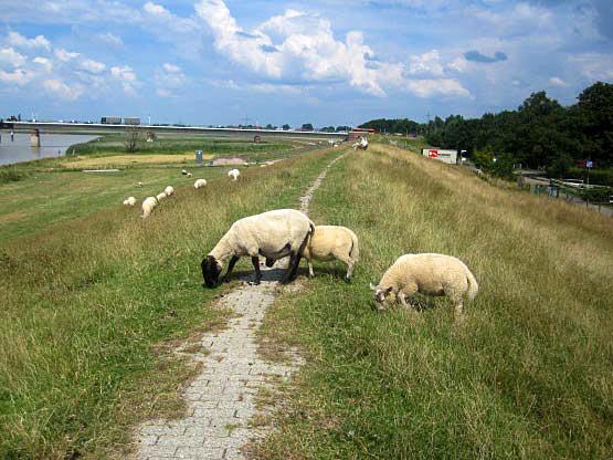 Typisch: Schafe am Deich