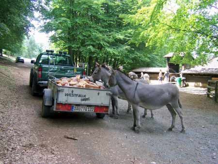 Esel Wildpark Daun