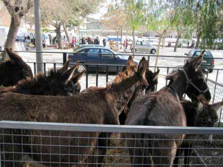 Esel-Markt Mallorca