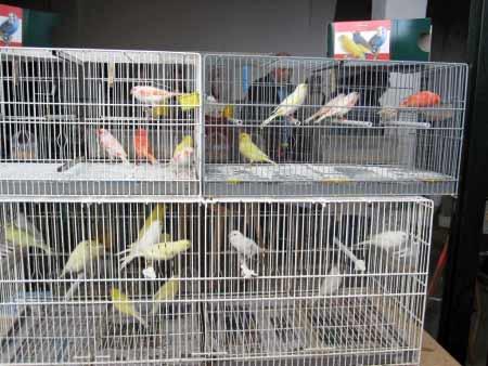 Kanarienvögel-Markt Mallorca