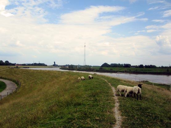 Schafe am Leda-Deich