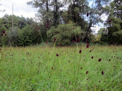 Saftige Gräserwiesen im Maintal