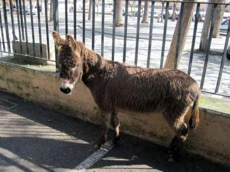 Mallorca-Esel