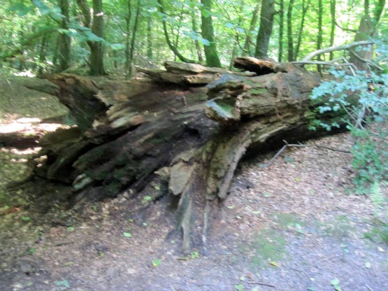 Eichen, Buchen, Ilex beherrschen den Urwald