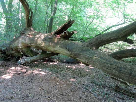 Neuendorfer Urwald, umgestürzte Bäume