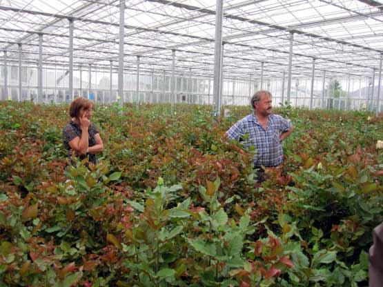 Rosenzüchter und -vertreiber von Schnittrosen, Niederrhein