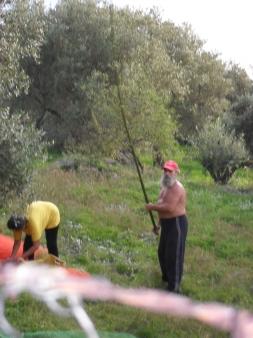 Oliven Selbst Ernten