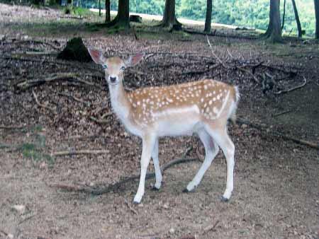 Reh Wildpark Daun