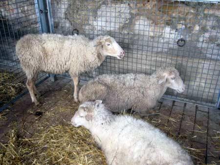 Schafe-Markt Sineu