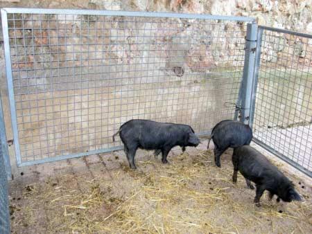 Schwarze Mallorca-Schweine