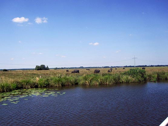 Ostfriesland Wasserbüffel