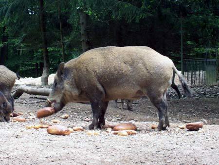 Wildschweine Fütterung