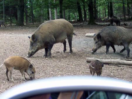 Wildschweine Wildpark Daun