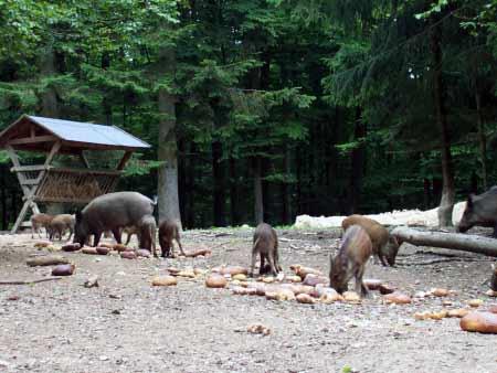 Wildschweinrotte Daun