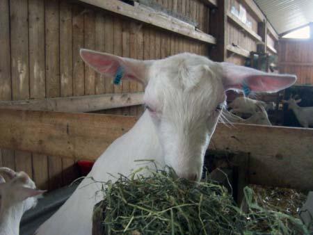 Ziege in der Käserei