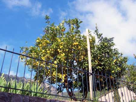 Zitronenbaum Valldemossa